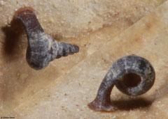 Anauchen chaunosalpinx (N of Kampong Trach, Cambodia)