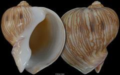Melapium lineatum (South Africa, 28,2mm)