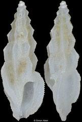 Pseudorhaphitoma multigranosa (Philippines, 7,8mm)