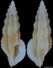 Pseudorhaphitoma ornata (Philippines, 8,8mm)