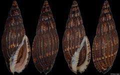 Lyria solangeae (Madagascar, 57,0mm, 56,9mm)