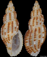 Pseudodaphnella crypta (Philippines, 8,4mm) F++ €10.00