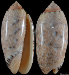 Oliva mantichora (Madagascar, 56,0mm) F++ €3.00 (specimens for sale are 53-56mm and are of the same quality as the specimen illustrated)