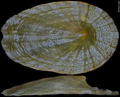 Tugali scutellaris (Philippines, 9,4mm)
