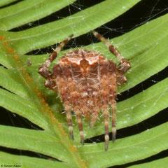 Orb-weaver (Araneidae sp.), Bokor Mountain, Cambodia