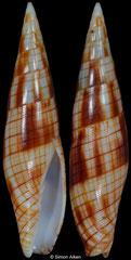 Nebularia dondani (Philippines, 36,4mm)