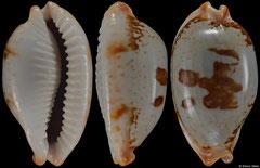 Cypraea stolida form 'diauges' (Tanzania, 33,0mm)