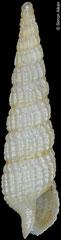 Terebra cf. doellojuradoi (Caribbean Colombia, 9,4mm)