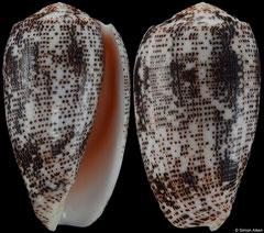 Conus stercusmuscarum (Philippines, 54,3mm)