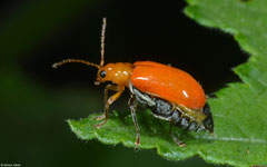 Leaf beetle (Chrysomelidae sp.), Balut Island, Philippines