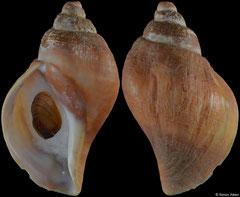 Pyrulofusus deformis (Alaska, 70,1mm)