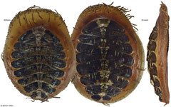 Placiphorella velata (30,8mm, 33,4mm, Washington, USA)