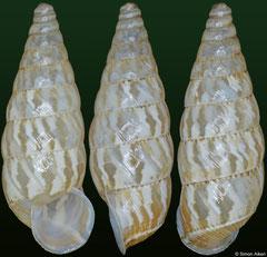 Macroceramus canimarensis (Cuba, 13,3mm)