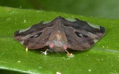 Planthopper (Ricaniidae sp.), Samal Island, Philippines