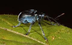 Weevil (Curculionoidea sp.), Angkor Chey, Cambodia