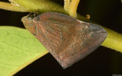 Planthopper (Auchenorrhyncha sp.), Kampong Trach, Cambodia