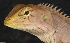 Oriental garden lizard (Calotes versicolor), Krong Kaeb, Cambodia