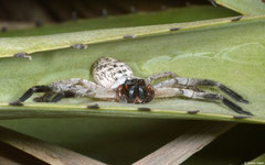 Huntsman spider (Sparassidae sp.), Salary, Madagascar