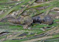 Batillaria attramentaria (Salmon Bay, Sakhalin Island, Russia)