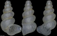 Lanzaia bosnica (Bosnia and Herzegovina, 1,7mm)