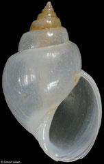 Microstelma japonicum (Philippines, 12,0mm) F+++ €10.00