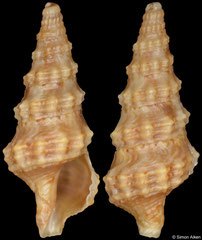 Pseudexomilus fenestratus (South Africa, 12,3mm) F+/F++ €3.50 (specimens for sale are 12mm and are of the same quality as the specimen illustrated)