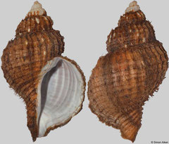 Fusitriton oregonensis (Russia, 111mm)