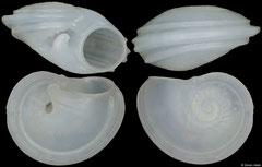 Leucorhynchia tricarinata (Philippines, 4,8mm)