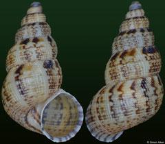 Chondropoma vanattae vanattae (Dominican Republic, 14,1mm)