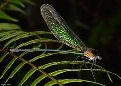 Broad-winged damselfly (Phaon rasoherinae), Sahafina, Madagascar