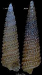 Cerithiopsis guatulcoensis (Pacific Mexico, 3,7mm, 4,0mm) F+++ €9.00