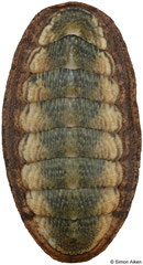 Ischnochiton elongatus (Victoria, Australia, 32,2mm)