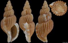 Africotriton fictilis (South Africa, 18,5mm)