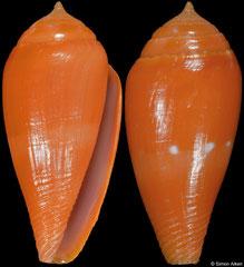 Conus nucleus (Philippines, 23,5mm)
