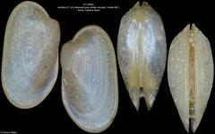 Habepegris washingtonia (Santa Catalina Basin, 4,2mm)