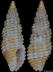 Steironepion piperatum (Pacific Mexico, 5,0mm) F+++ €9.00 (specimens for sale are 4.3-5.0mm and are of the same quality as the specimen illustrated)