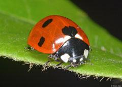 Seven-spot ladybird (Coccinella septempunctata), York, UK