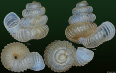 Plectostoma dancei dispersum (Malaysia, 1,6mm, 1,8mm)