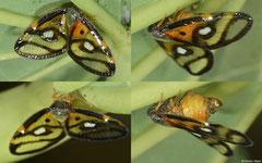 Planthopper (Fulgoromorpha sp.), Lakxao, Bolikhamsai Province, Laos