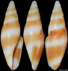 Benthofascis pseudobiconica (Queensland, Australia, 27,2mm)