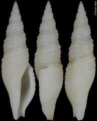 Daphnella sp. (Philippines, 21,8mm)