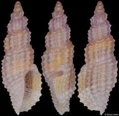 Exomilus cf. edychrous (Philippines, 3,9mm)