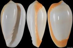 Prunum cinctum (Senegal, 23,3mm)