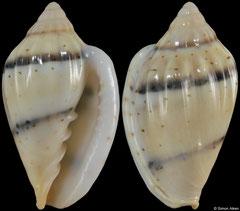 Glabella bifasciata (Senegal, 19,8mm)