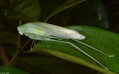 Katydid (Tettigoniidea sp.), Balut Island, Philippines