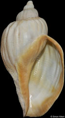Pyrolofusus melonis (Sea of Okhotsk, Russia, 129,9mm)