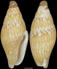 Ascalista letourneuxi (Bass Islands, 3,3mm)