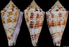Conus gattegnoi (Philippines, 27,8mm)