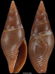Pseudonebularia rutila (Philippines, 17,6mm) Gd/F €12.00