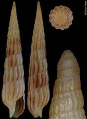 Terebra parkinsoni (Hawaii, 23,3mm)